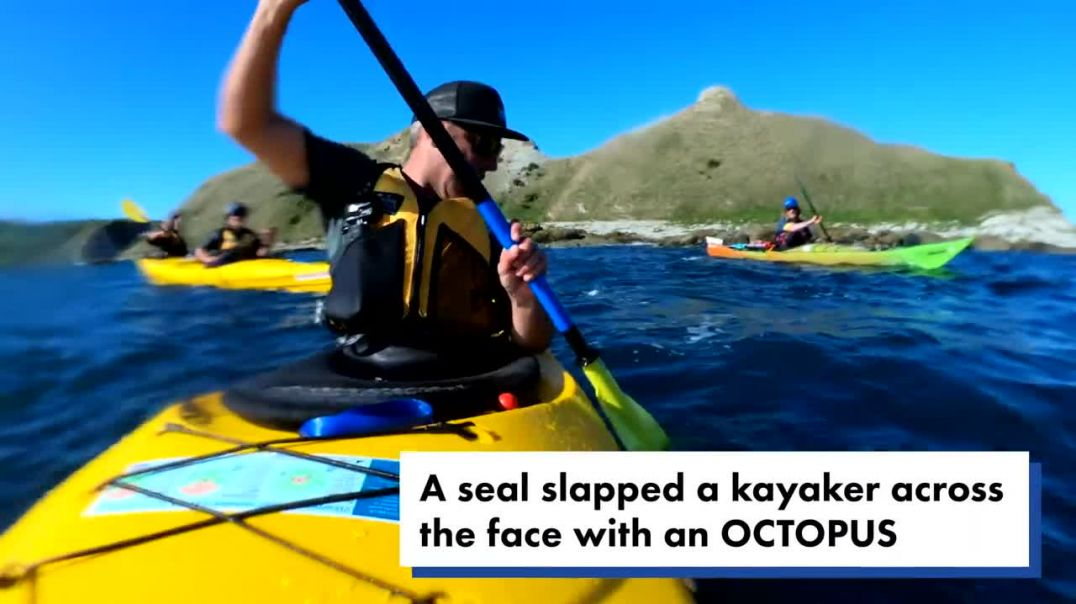 Seal bitch-slaps kayaker across the face with an octopus