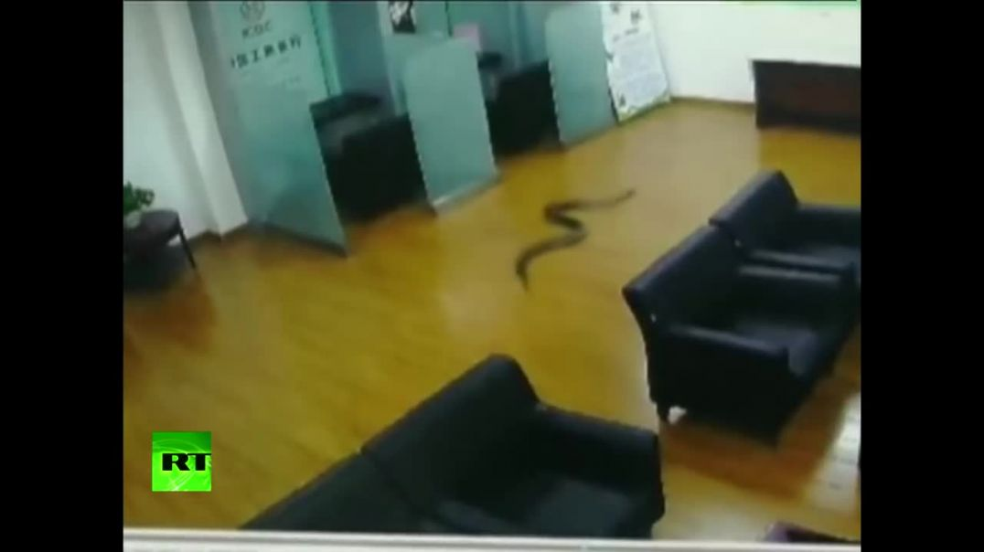 1.5-meter python falls from ceiling on bank clerks during meeting.mp4