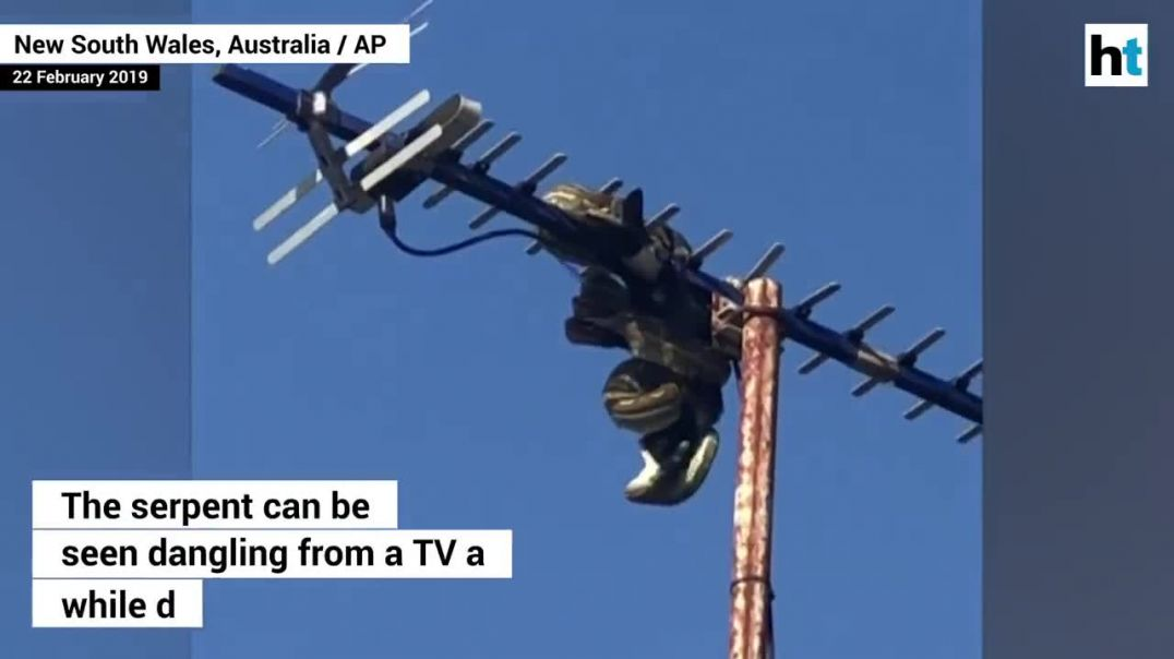 Watch- Moment a python devours bird on a rooftop in Australia.mp4