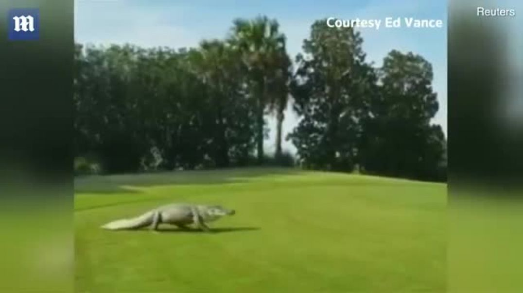 Incredible moment 11 ft alligator strolls across golf green.mp4