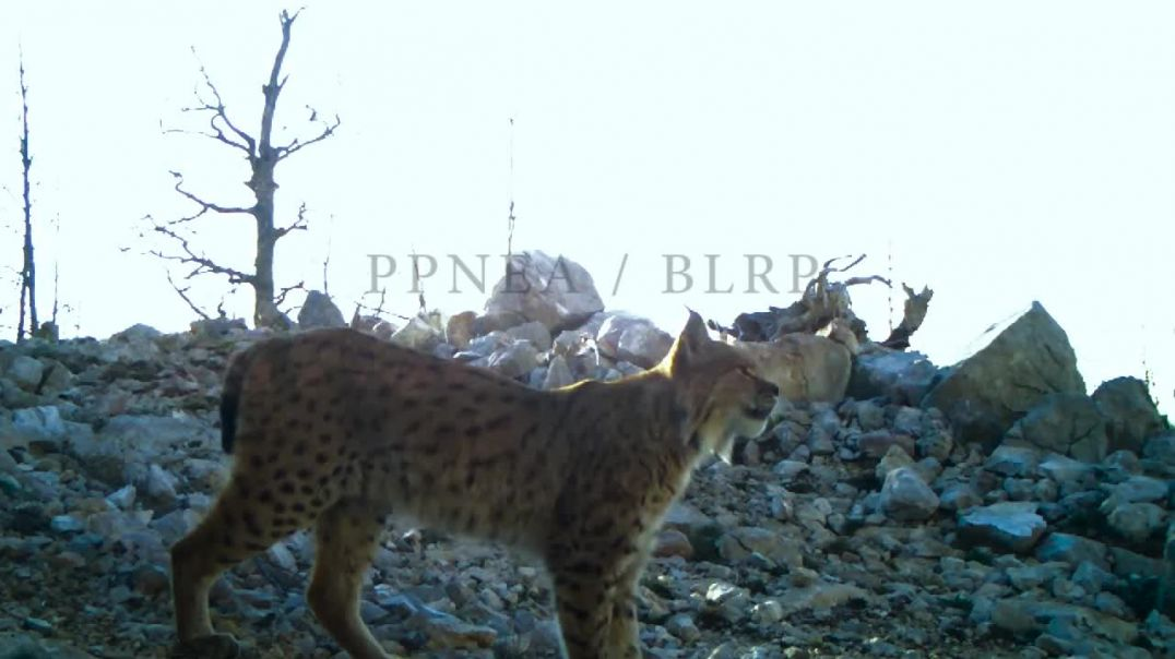 Have you seen how Balkan lynx call their mates Our lynx are getting way