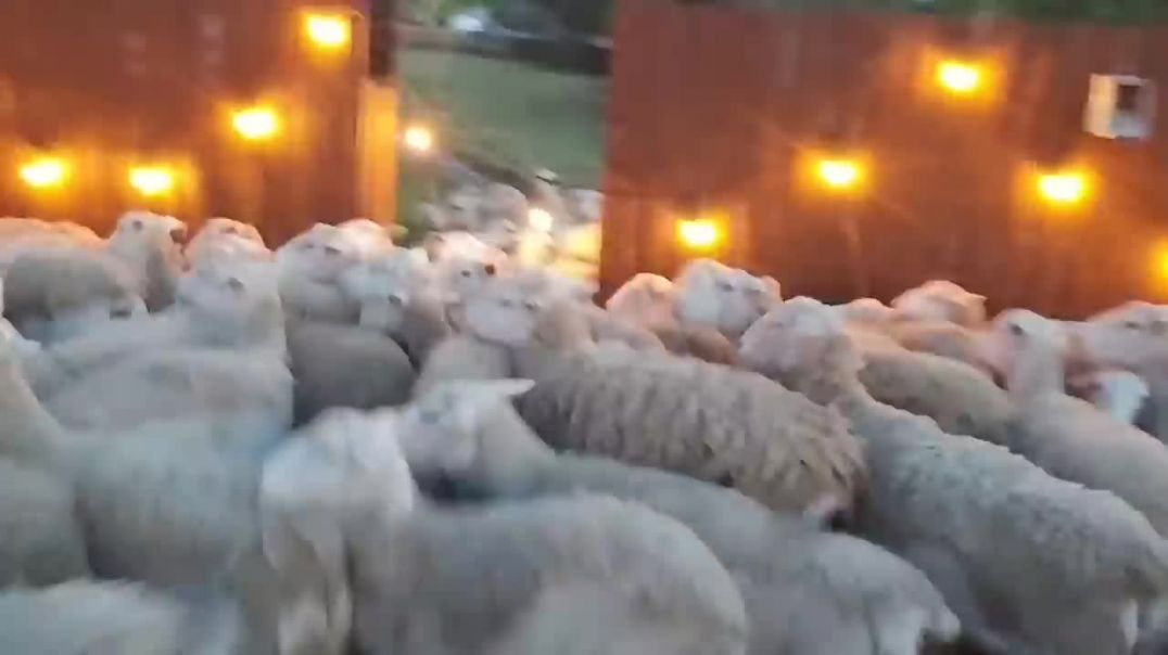 OH No 200 sheep just stormed my backyard!.mp4