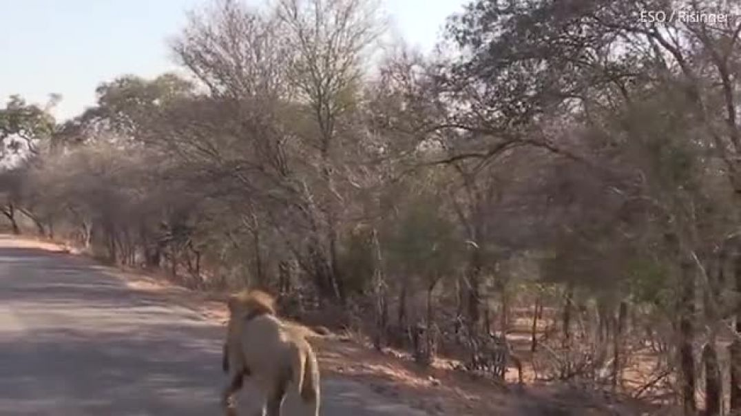 Lion pounces on antelope and takes it down in the middle of a road